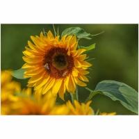 """15. """"Sonnenblume"""" von Fritz Bleier"""