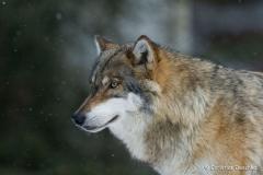 01-Wolf