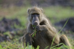 Pavian in Südafrika