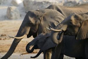 Elefanten im Chobe-Nationalpark in Botswane